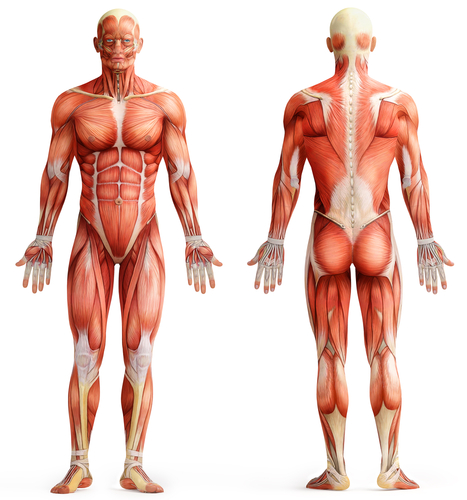 Worksheets Muscles Of The Body Worksheet muscles of the human body worksheet edplace can you try to guess how many there are in over 600 following questions indetify some them