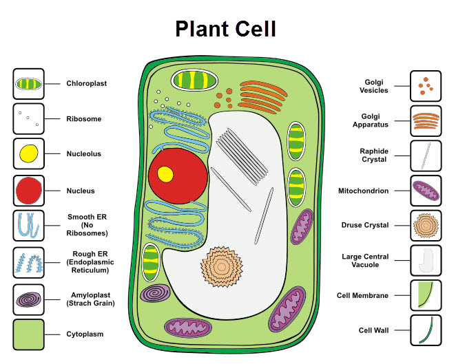 Cells Worksheet EdPlace – Label Plant and Animal Cell Worksheet