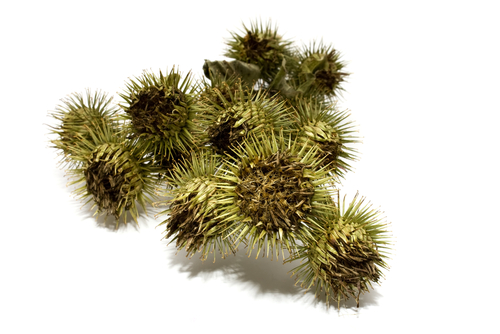 Burdock fruits
