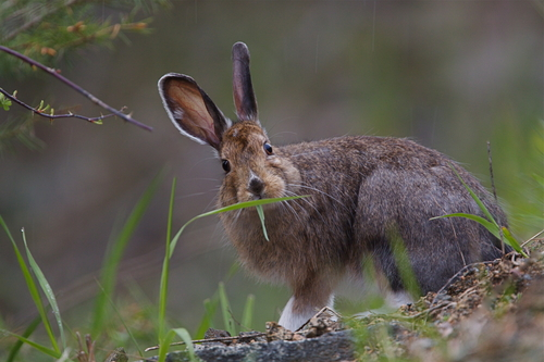 A brown hare