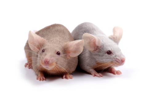 Image of mice