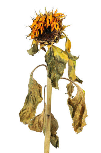 Wilting sunflower plant
