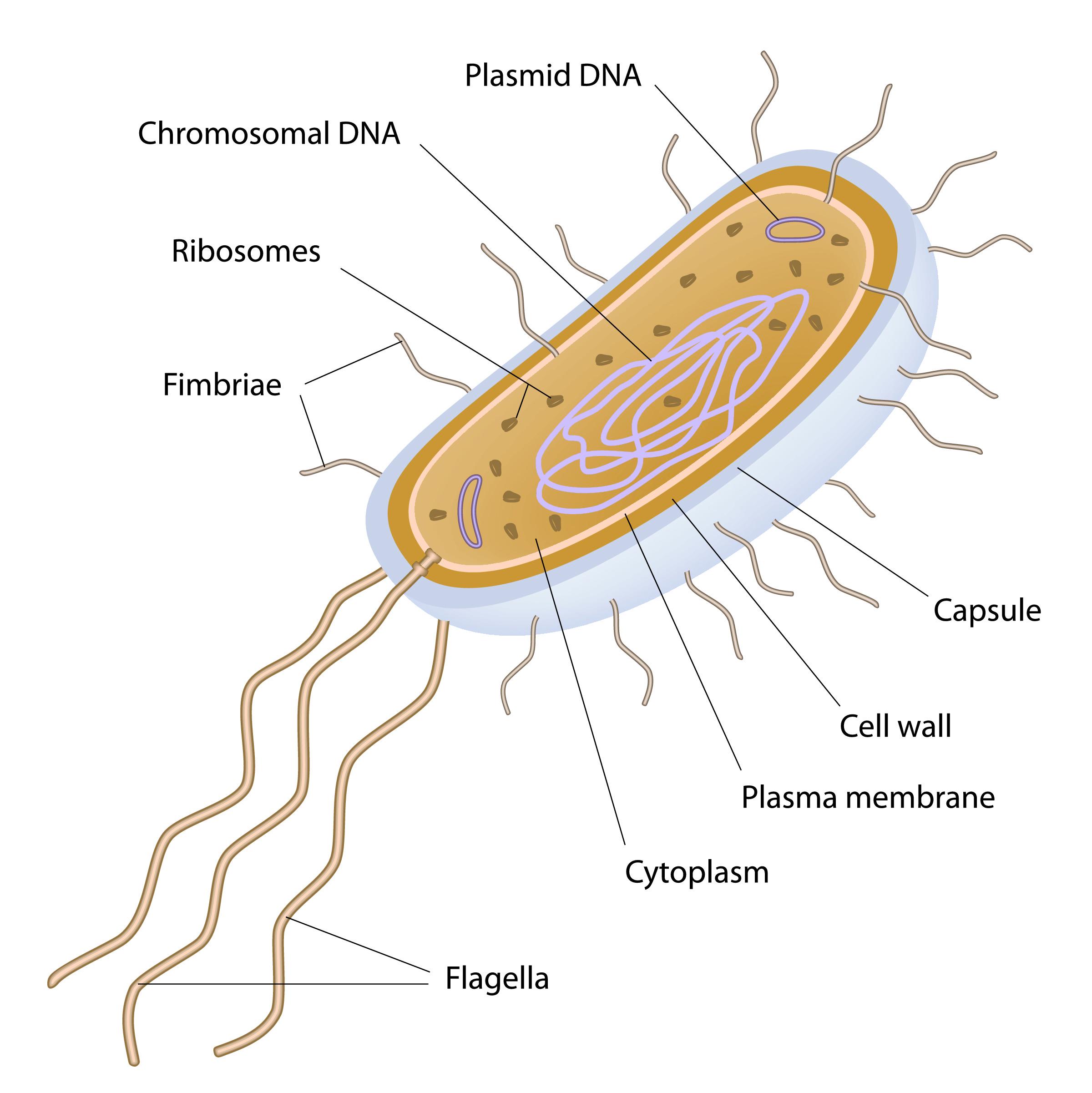 Bacterial Cell Diagram Worksheet