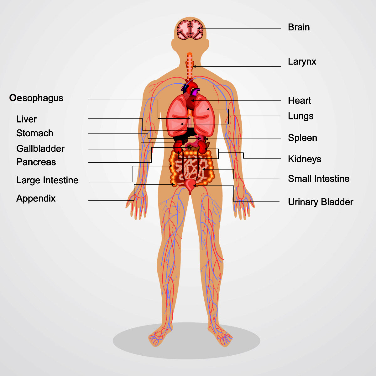 Tissues and Organs - worksheet from - Times Tutorials